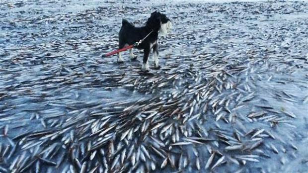 Norveç'te denizdeki balıklar dondu galerisi resim 1