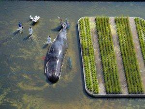 Nehir kenarındaki balina görenleri şaşırttı!
