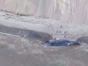 ABD'de 24 metre uzunluğundaki mavi balina sahile vurdu