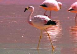Yerli flamingolar, Akdeniz'i turluyor