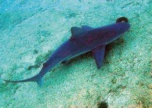 Gökova'daki kum köpekbalıkları yakın takipte