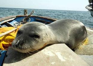 Akdeniz foku Badem ortalıktan kayboldu