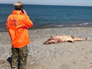 Yakakent Sahili'nde dört ölü yunus balığı bulundu