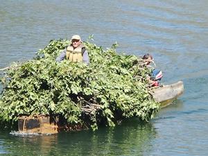 Defneleri Berke Barajı'ndan kayıkla taşıyorlar