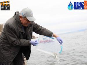 İzmit Körfezi'ne 6 bin balık daha salınacak