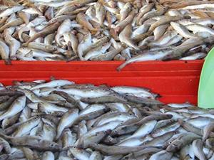 Edirne'de tezgahlarda balık bolluğu yaşanıyor