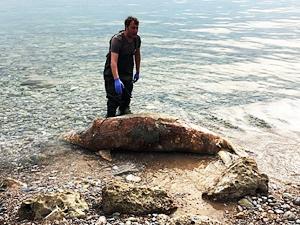 Gökova Körfezi'nde 'Akdeniz foku' kıyıya vurdu