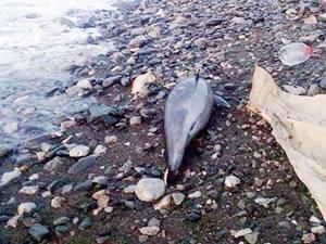 Zonguldak'ta telef olan iki yunus balığı bulundu