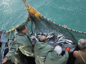 Osmaniye'den 300 ton gümüş balığı ihraç ediliyor