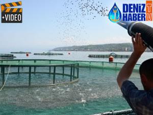 Trabzon'da tezgahlar kültür balıklarına kaldı