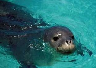 Hatay sahilinde ölü Akdeniz foku bulundu