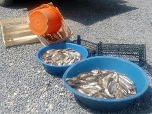 'İnci kefali' avı yasağı okullarda anlattı