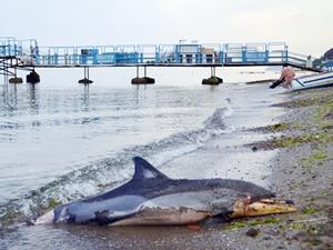 Tekirdağ'da telef olan yunus balığı sahile vurdu