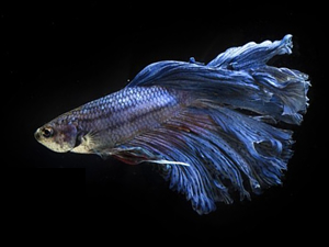 Betta balıkları, dünya üzerinde yoğun ilgi görüyor