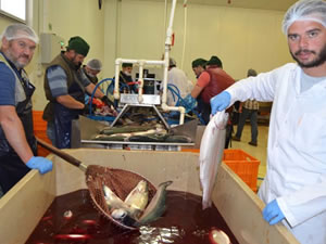 Trabzon'dan Uzakdoğu'ya somon balığı ihraç ediliyor
