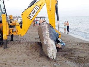 Antalya'da 4 metrelik balina ölüsü kıyıya vurdu