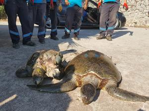 Marmaris'te telef olan caretta carettalar sahile vurdu