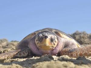 Yaralanan deniz kaplumbağası en az 2 yılda iyileşiyor