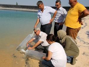 Erdemli'de göletlere 50 bin sazan yavrusu bırakıldı
