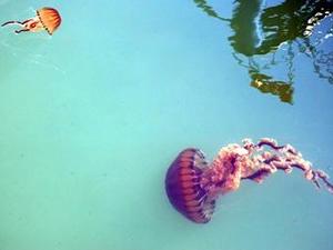 Akdeniz kıyılarında pusula denizanası uyarısı!