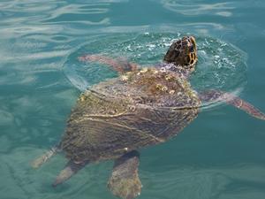 Şamandıra ipine takılan deniz kaplumbağası kurtarıldı