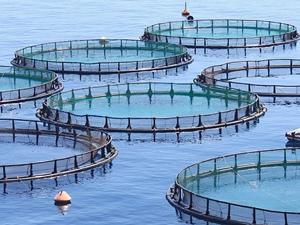 Balık çiftlikleri deniz yaşamını tehdit ediyor