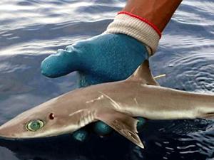 Meksika'da yeni bir köpek balığı türü bulundu