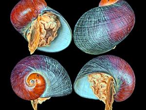 Deniz salyangozunda yeni Metamorfoz türü bulundu