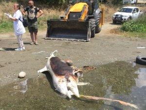 Edremit'te silahla öldürülmüş yunus bulundu!