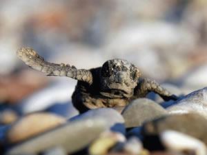 Caretta yavrularını poşetle toplayıp denize bıraktılar