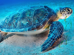 Deniz kaplumbağaları Mavi'yle buluşmaya devam ediyor