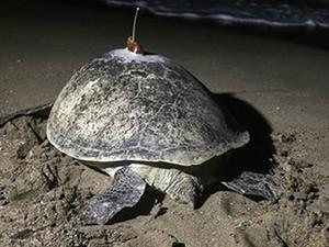 Deniz kaplumbağası 48 günde Adana'dan Mısır'a gitti