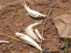 Fadlum Irmağı'nda toplu balık ölümleri meydana geldi