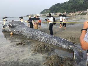 Dev mavi balina Japonya sahiline vurdu