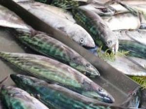 """Balıkçılar """"Palamut"""" sezonunun açılmasını bekliyor"""