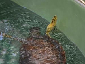Yerli ve yabancı turistler deniz kaplumbağalarını ziyaret ediyor
