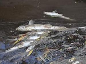 Kızılırmak'ta yaşanan toplu balık ölümleri korkuttu