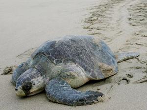 Meksika kıyılarına 113 deniz kaplumbağası vurdu