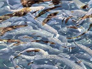 Elazığ'dan Avrupa ve Japonya'ya balık ihracatı
