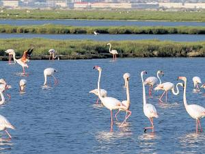 Gediz Deltası'nda flamingolar kazandı