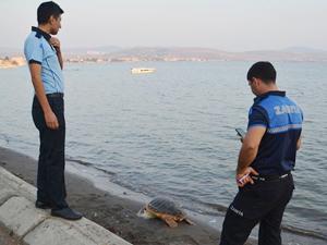 Aliağa sahilinde telef olan caretta caretta bulundu
