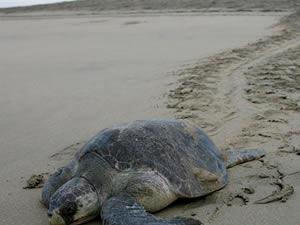Meksika'da 300 civarında deniz kaplumbağası sahile vurdu