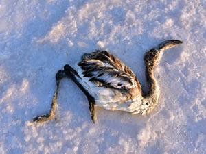 Tuz Gölü'ndeki flamingo ölümleri doğal seleksiyona bağlı