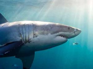 Köpek balıklarının yeni düşmanı 'Mıknatıslar'