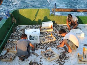 Karadeniz'de balık bereketi yaşanıyor