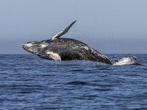 IWC, dünyadaki balina nüfusunun süresiz korunmasını onayladı