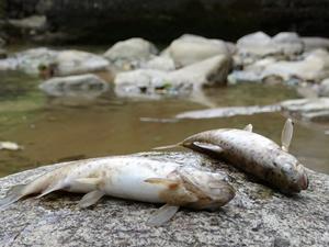 Çaykara'da toplu balık ölümleri endişelendiriyor