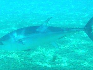Antalya'nın Konyaaltı sahilinde aslan balığı görüntülendi