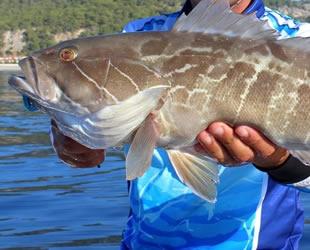 Lagos balığı, ticari amaçlı avlanması yasak türler listesinden çıkarıldı