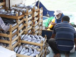 Akçakoca'da 14 metrelik tekneden 8 bin palamut çıktı